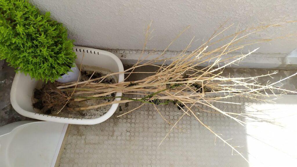 小松菜の茎 董立ち